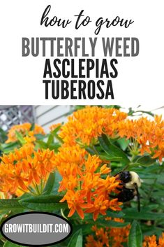 Learn how to grow Butterfly Weed - Asclepias Tuberosa from seed. This plant will add lots of color & life to your garden! Grow Butterflies, Butterfly Weed, Butterfly Plants, Garden Pests, Garden Planters, Gardening For Beginners, Gardening Tips, Indoor Gardening, Milkweed Plant