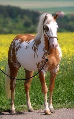 Sammy,palomino overo paint horse.