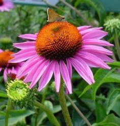 Coneflower, Purple Echinacea