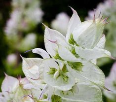 Each stem is topped with a profusion of lilac-white blossoms and brilliant white bracts