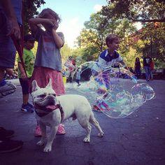 http://washingtonsquareparkerz.com/frenchie-andbubbles-washingtonsquarepark-nyc/   #frenchie #andbubbles #washingtonsquarepark #nyc