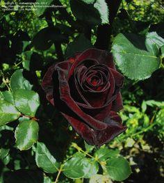true blood black rose rare rose 5 seeds al1985sc rose bush gardening pinterest torah the. Black Bedroom Furniture Sets. Home Design Ideas
