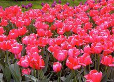 Tulips in Central Park Spring 2010.