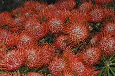 Pincuchion proteas