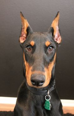 Dobermans are the Batman of dog world