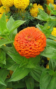 Zinnia Benarys Giant Orange | A [d/-/d]