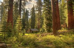 Sequoia trees Yosemite National Park by BodenPhotographyLLC