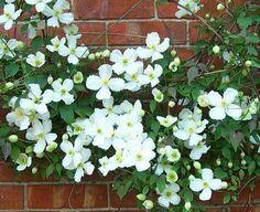 Clematis Montana  Hoja caduca Con aroma a vainilla Florece en primavera Sol o semisombra