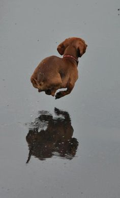Miniature Shorthaired Dachshund caught mid-flight as it runs through shallow water - all four feet off the ground. Looks like he's leaping over his own reflection.