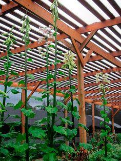 Cardiocrinum giganteum v. giganteum Moist Shade: Bulbs do well in moist shade.