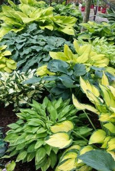 Fabulous mixed Hosta display! See more shade perennials. http://www.landscape-design-advice.com/shade-perennials.html