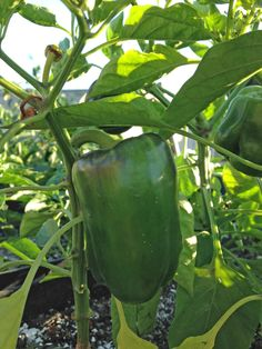 Pimiento morron-Cultivo Stuffed Peppers, Vegetables, Garden, Rooftop, Potager Garden, Veggies, Lawn And Garden, Vegetable Recipes, Gardens