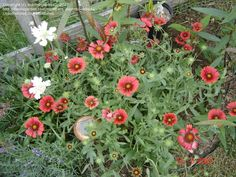 PlantFiles Pictures: Gaillardia, Blanket Flower, Indian Blanket 'Burgundy' (Gaillardia x grandiflora) by Indian Blankets, Water Water, Hardy Plants, West Texas, Early Fall, Drought Tolerant, Late Summer, Perennials, Seeds