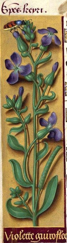 Violette guiroflee - Species keyri (Matthiola incana R. Br. = giroflée des jardins à fleurs violettes) -- Grandes Heures d'Anne de Bretagne, BNF, Ms Latin 9474, 1503-1508, f°77v