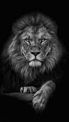 Lion Images, Stock Photos & Vectors : Lion, King black and white Lion Live Wallpaper, Animal Wallpaper, Afrika Tattoos, Black And White Lion, Lion Head Tattoos, Lion Photography, Lions Photos, Lion Drawing, Lion Tattoo Design