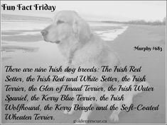 Red And White Setter, Glen Of Imaal Terrier, Fun Fact Friday, Wheaten Terrier, Wolfhound, Beagle, Dog Breeds, Fun Facts, Irish