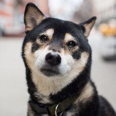 Yoji, Shiba Inu y/o), & Ave, New York, NY//the dogist Shibu Inu, I Need Love, Faith In Humanity, Shiba, Animal Rescue, Dog Breeds, Husky, Dog Cat, Super Cute