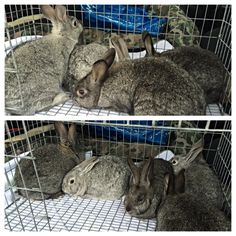 5 Standard Chinchilla/Californian bucks. They are about 10 weeks old so they'll be grown out for another few weeks.