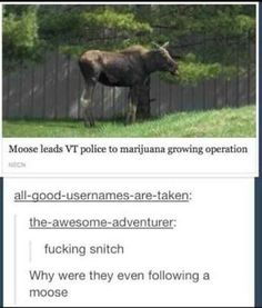 Suspicious mafia moose, turns out to be police snitch