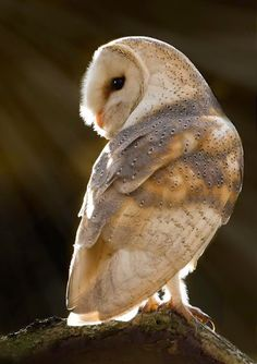 Barn Owl , what a beautiful picture. Beautiful Owl, Animals Beautiful, Owl Bird, Pet Birds, Animals And Pets, Cute Animals, Photo Animaliere, Owl Pictures, Tier Fotos