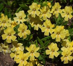 Diplacus longiflorus is sometimes called Mimulus aurantiacus, which is what they call almost all the monkey flowers.