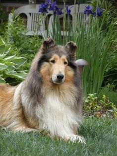 rough collie-beautiful sable - looks like Wendy I grew up with!