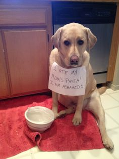 """I ate My Mom's Pasta. I am ashamed!!"" ~ Dog Shaming shame - Yellow Labrador"