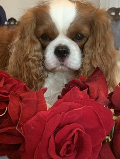 Cavalier King Spaniel, Cavalier King Charles Dog, Cocker Spaniel Puppies, King Charles Spaniel, Cute Cats And Dogs, I Love Dogs, Dogs And Puppies, Maltese Dogs, Adorable Dogs