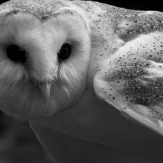 beautiful black and white barn owl