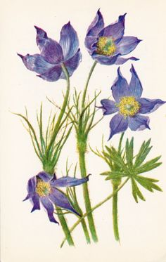 Flowers Series Pasqueflower by RussianSoulVintage, botanical illustration.