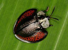Tortoise Beetle (Eugenysa)