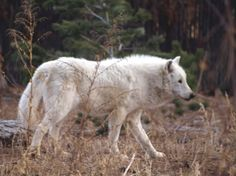 artic wolf profile | ferine | 3/6/10--African Wild Dogs, Artic Fox, Arctic Wolf, Maned Wolf ...