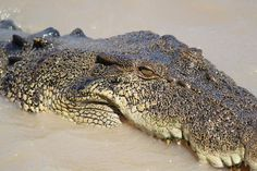 Saltwater Croc - see it upclose at Hartle's Crocodila Adventures #ecotourism #queensland #autralia