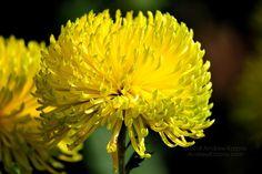 Karizmatikus krizantém virág tapéta 7236934