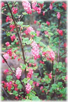Ribes sangineum.    At Furneys  Red flowering Currant.  Full sun, well draining soil.  6-8 ft tall and wide.  Deciduous.  Attracts hummingbirds.  Spring blooms.