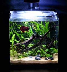 Betta tank with live plants. It has the look of a river/ lake and that where betta splendens live in the wild.