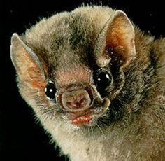 bat Wildlife Guatemala 7 Revealing Facts About Vampire Bats Spirit Animal Totem, Animal Totems, Primates, Mammals, All Bat, Vampire Bat, Nature Animals, Wild Animals, Cute Faces