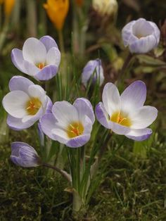 ce43889b950d5d Crocus Chrysanthus Blue Pearl Crocus Bulbs