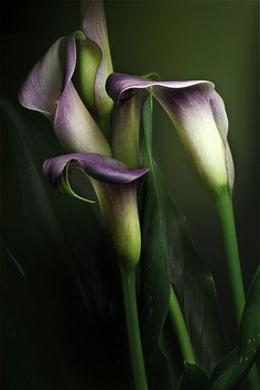 Calla lilies purple. Just a few long stems for Matron of honor?