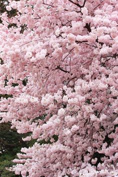Pink Sakura spring pink fruit flowers trees japan blossom such as this one are sure to give your garden a memorable entrance. Create an aesthetic space by contrasting modern forms with spring flowering trees. Nature Verte, Tout Rose, Sakura Cherry Blossom, Cherry Blossoms, Blossom Trees, Spring Blossom, Flowering Trees, Dream Garden, Spring Flowers
