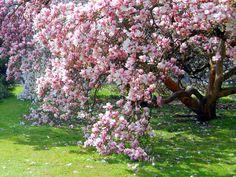 How to Grow Magnolia Tree | DoItYourSelf