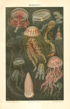 1904 Sea Jellies Original Antique by CabinetOfTreasures on Etsy, $24.95