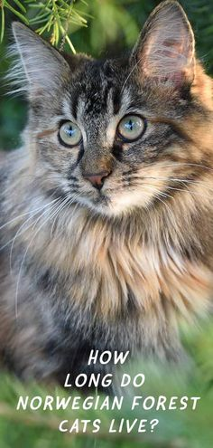 Cat breed information from the Happy Cat Site. - What is the average Norwegian Forest Cat lifespan? What illnesses might they get along the way? Here we take a hard look at Norwegian Forest Cat health. Maine Coon, Cat Site, Blessed, F2 Savannah Cat, Cat Tags, Siberian Cat, Norwegian Forest Cat, Cat Behavior, Cat Health