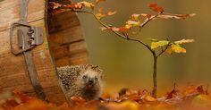 Photographier des animaux à leur état sauvage n'est pas une chose aisée. Pourtant, Edwin a réussi à capturer des moments d'intimité des animaux de la forêt dans d'étonnants clichés après avoir gagné peu à peu leur ...