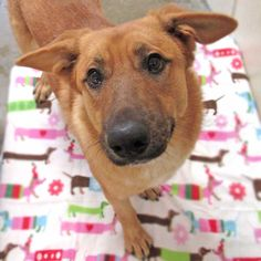 Redwood is a big, handsome Shepherd dog who loves the great outdoors and would love to be someone's hiking or running partner. Adopt him today!