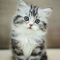 We do our best to scourer the web to bring you cute cat pics that will make you day. Pretty Cats, Beautiful Cats, Animals Beautiful, Cute Baby Animals, Animals And Pets, Funny Animals, Animals Kissing, Fluffy Kittens, Cute Cats And Kittens