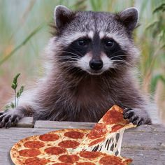 gourmand raccoon!
