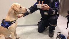 Retiring Zico dog made the last work shift at Helsinki-Vantaa Airport. || Eläkkeelle lähtevä sai nakkikakkua lahjaksi - Kotimaa - Uutiset - MTV.fi -- http://www.mtv.fi/uutiset/kotimaa/artikkeli/elakkeelle-lahteva-sai-nakkikakkua-lahjaksi/4608324