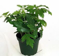 """Oak Leaf Grape Ivy Plant - Cissus rhombifolia - 4"""" Pot by Hirts: House Plant. $7.99. The plant you will receive is growing in a 4"""" pot.. Great in a hanging basket. Easy to grow house plant. Native to South America. Proper name: Cissus rhombifolia. The Oak Leaf Grape Ivy is an improvement of the old-fashioned Grap Ivy. It is an easy to grow house plant. It prefers bright, indirect light. It will aclimate to low light. Water when the soil is on the dry side. Trim as needed."""