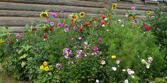 Kwiaty z wiejskiej rabaty